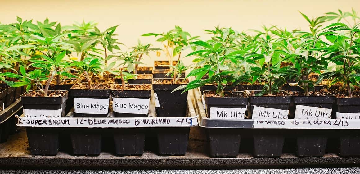 Marijuana Cloning FAQ - Become an Expert