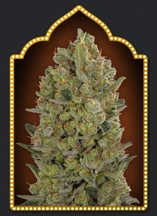 00 Cheese by 00seeds