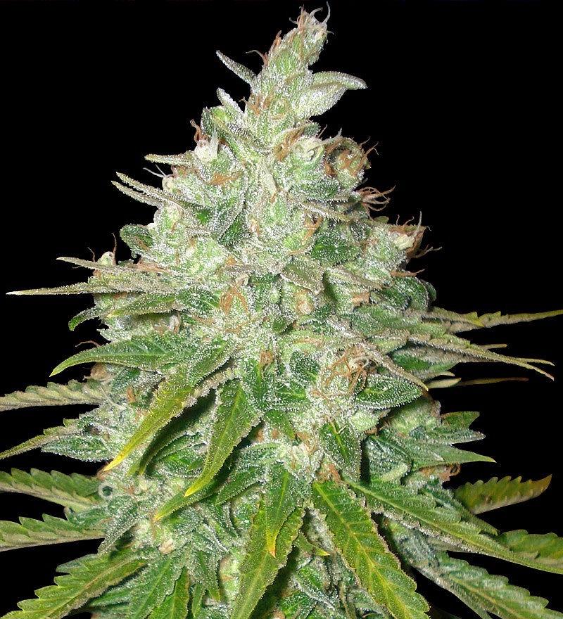 Afghan Kush X Black Domina by World of Seeds