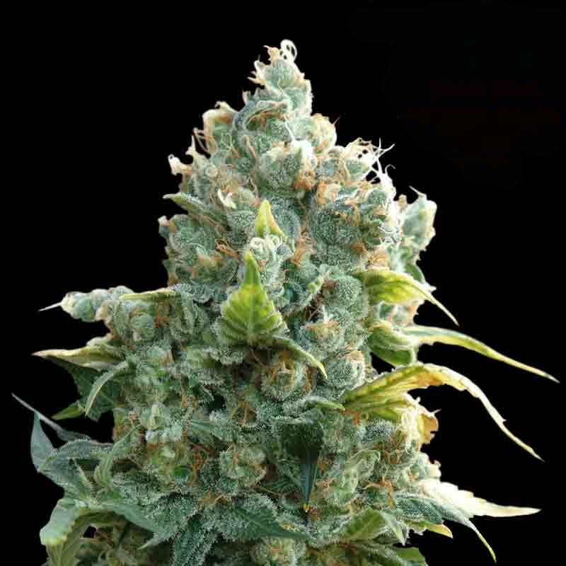 African Free by Eva Seeds