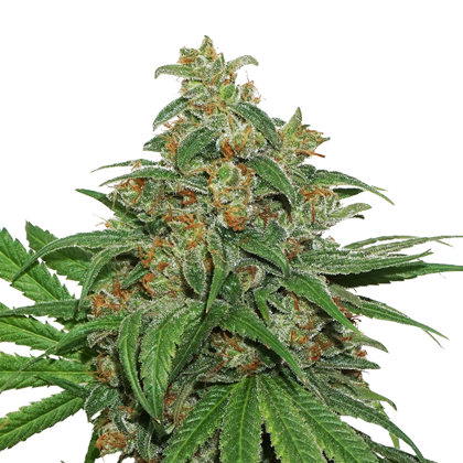 AK420 by Seedstockers