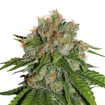 Amnesia Autoflower by Seedstockers