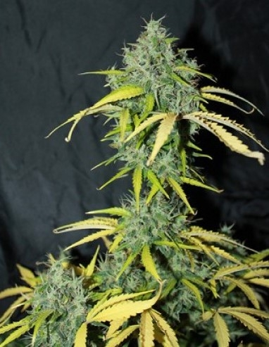 Amnesia Autoflowering by Canuk Seeds