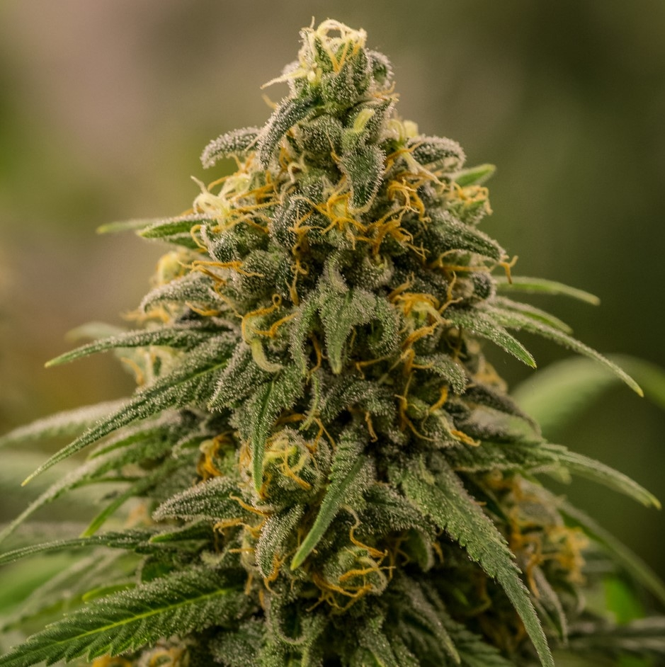 Apollo XX by Brothers Grimm Seeds