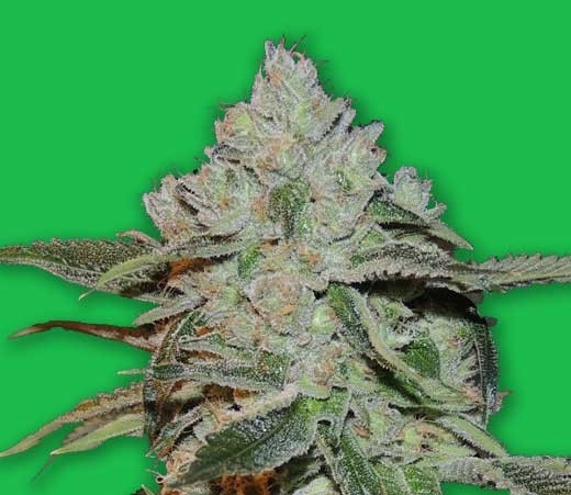 Atomic by Bomb Seeds