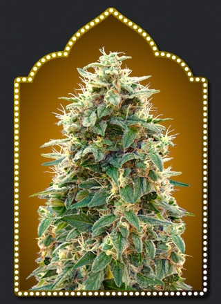 Auto 00 Cheese by 00seeds