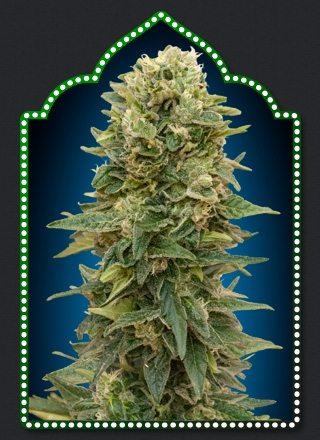 Auto Afghan Mass by 00seeds