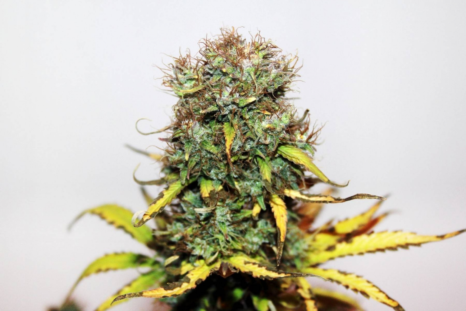 Auto Blue by Seedsman