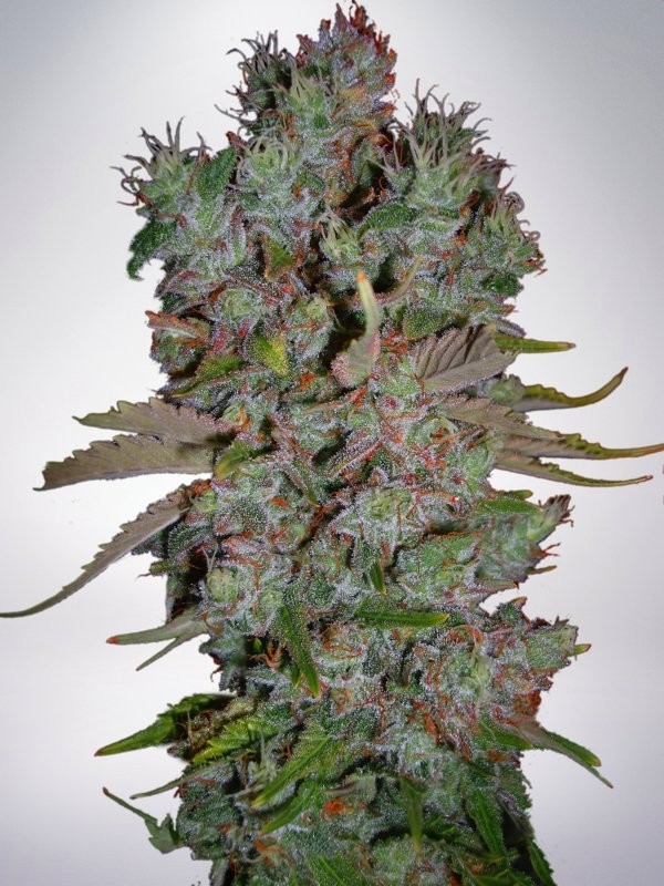 Auto Blueberry Domina by Ministry of Cannabis