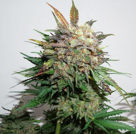 Auto Glueberry O.G. by Dutch Passion