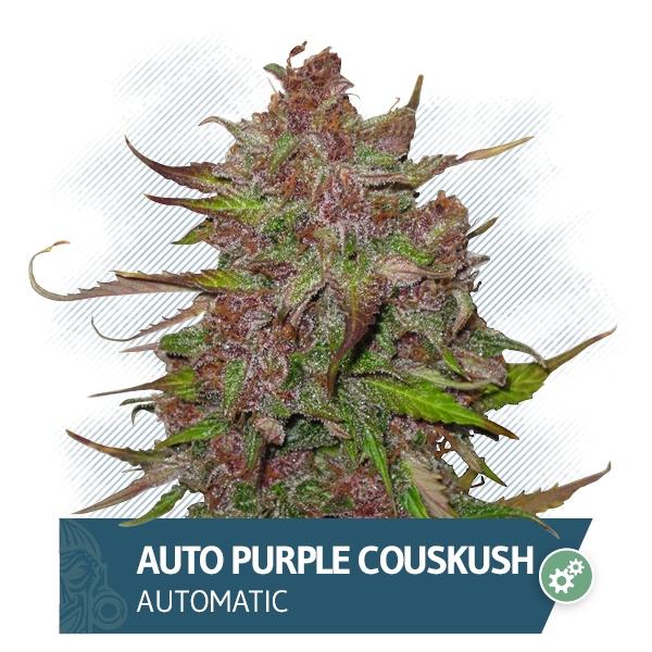 Auto Purple CousKush Marijuana Seeds from Zamnesia