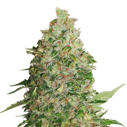 BCN Critical XXL Autoflower by Seedstockers