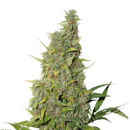 BCN Power Plant Autoflower by Seedstockers