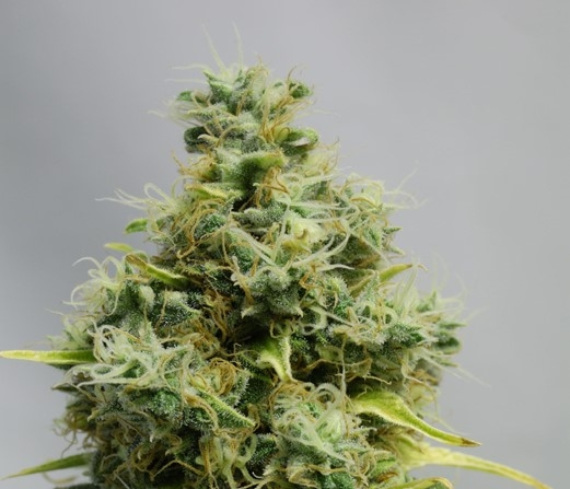 Big Bomb by Bomb Seeds
