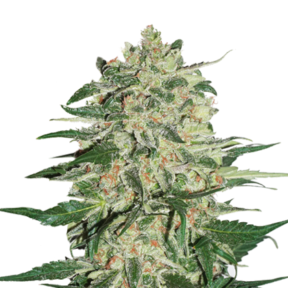 Big Bud Autoflower by Seedstockers