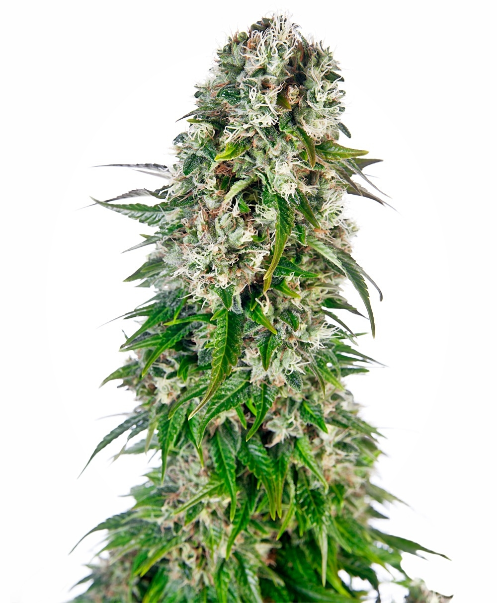 Big Bud Automatic by Sensi Seeds