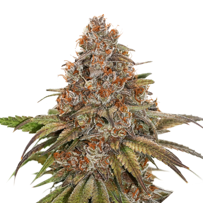 Blackberry Gum by Seedstockers