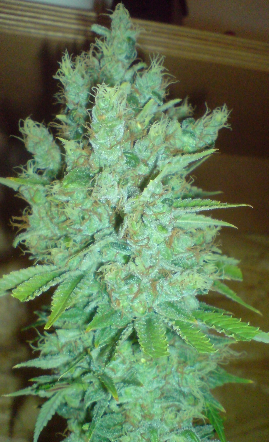 Blue Cheese Automatic by Big Buddha Seeds