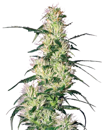 Blueberry Autoflowering by Growers Choice Seeds