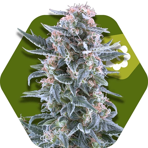 Blueberry Autoflowering by