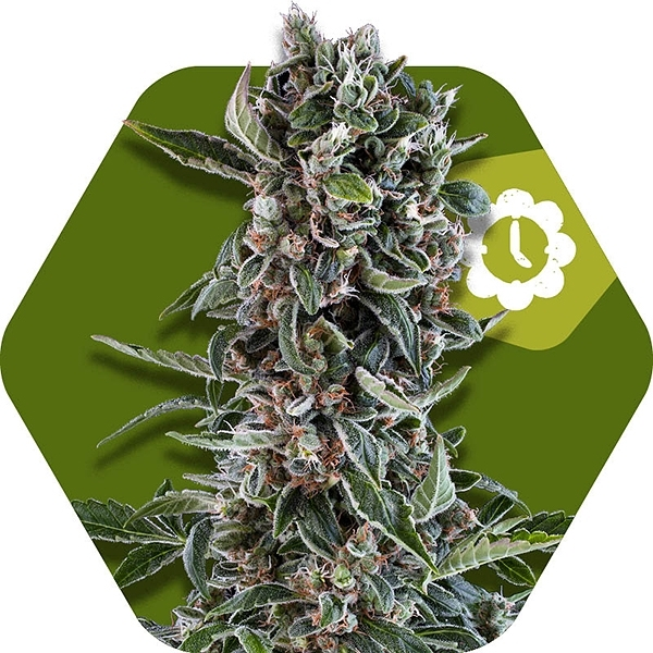 Blueberry Chesse Autoflowering by