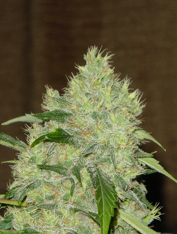Bubble Gum by Serious seeds