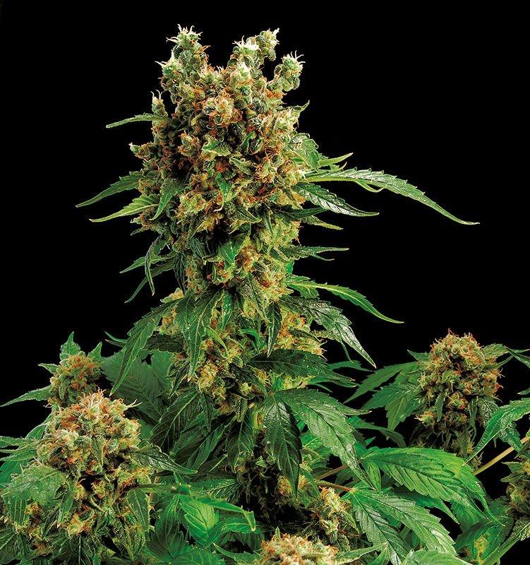 California Hash Plant Marijuana Seeds