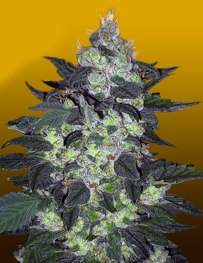 Candy Cane Auto by Crop King Seeds