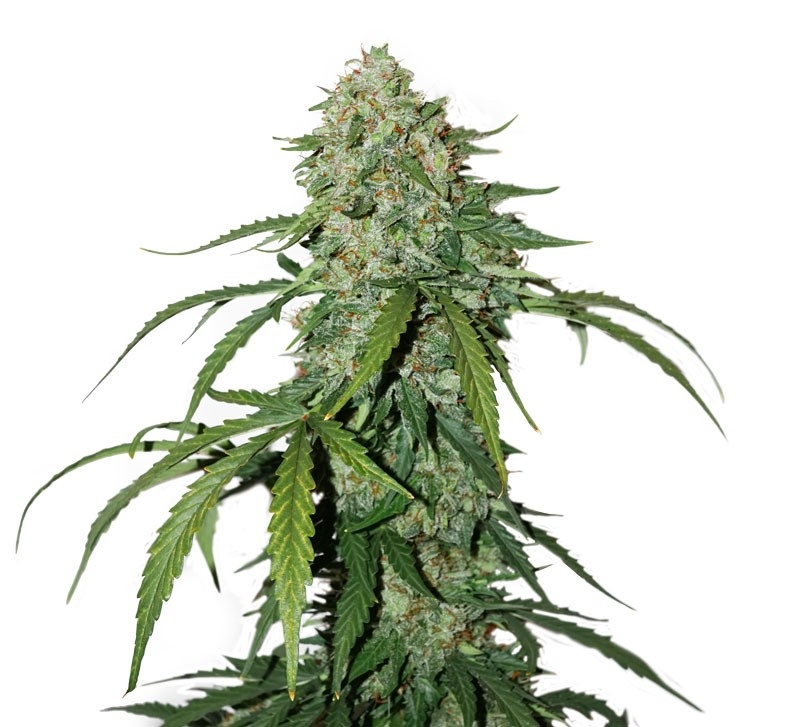 CBD 1:1 Silver Lime Haze by Seedstockers