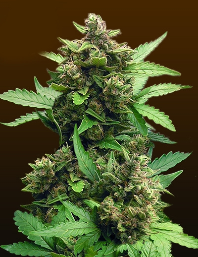 CBD Auto Cheese by Crop King Seeds