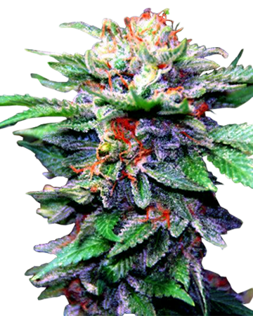 CBD Blueberry by Growers Choice Seeds