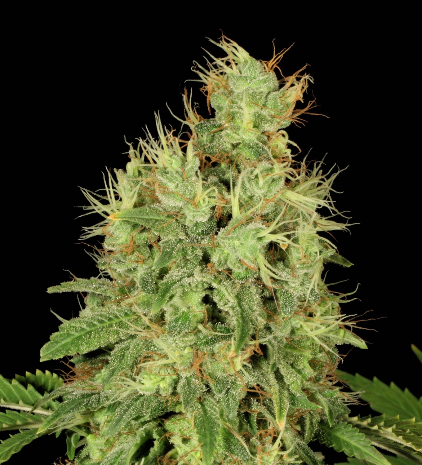 CBD-Chronic by Serious seeds