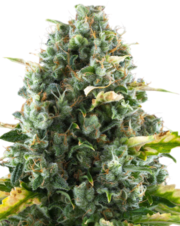 CBD Moby Dick by Growers Choice Seeds