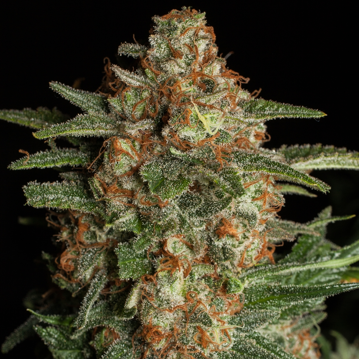 CBD Spliff Berry by Spliff Seeds