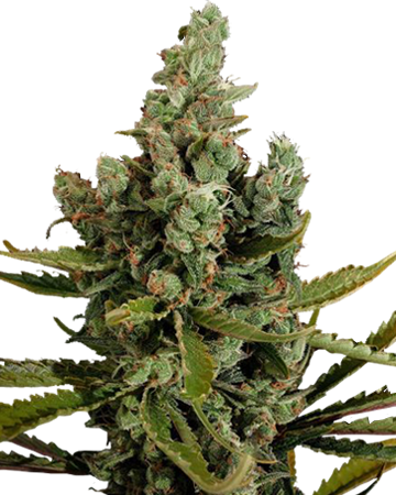 Cheese Autoflowering by Growers Choice Seeds