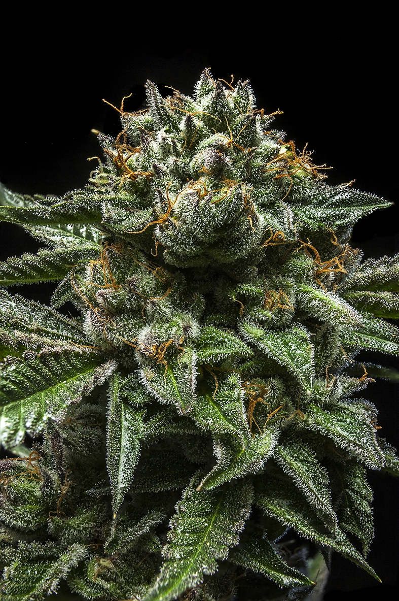 ChemPie by Ripper Seeds