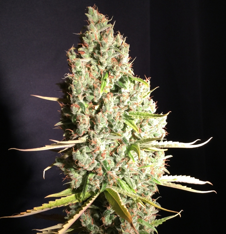 Chicle aka Bubbledawg by T.H.Seeds