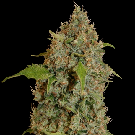 Chronic Thunder by Barney's Farm