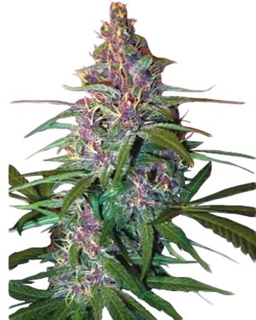 Critical Purple Autoflowering by Growers Choice Seeds