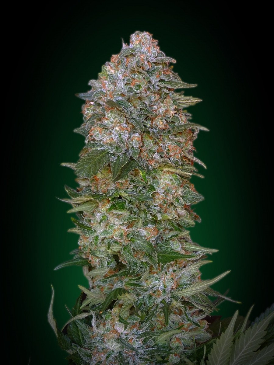 Critical Soma by Advanced Seeds