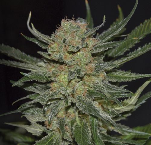 Domina by CBD Seeds