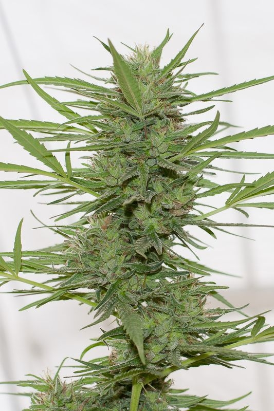 Dr. Greenthumb's Dedoverde Haze Auto by Humboldt Seeds