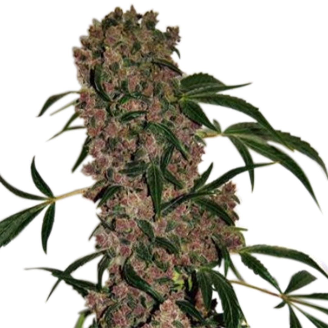 Girl Scout Cookies Extreme Marijuana Seeds