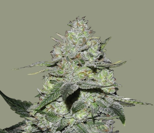 Gorilla Bomb by Bomb Seeds