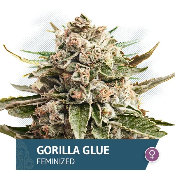 Gorilla Glue by