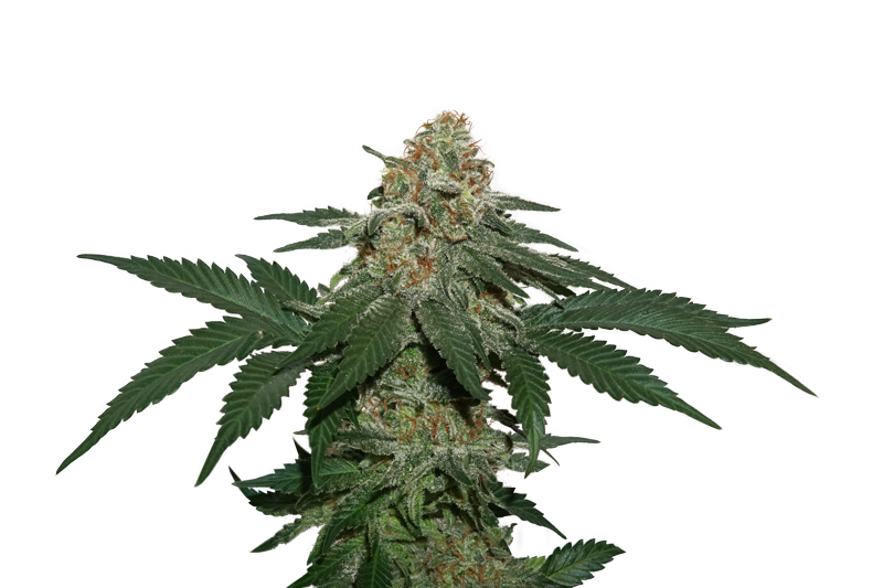 Grandaddy Confidential Kush Marijuana Seeds