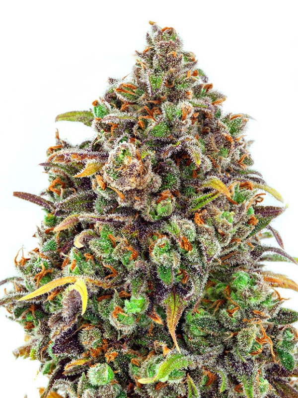 Haze Queen by Anesia Seeds