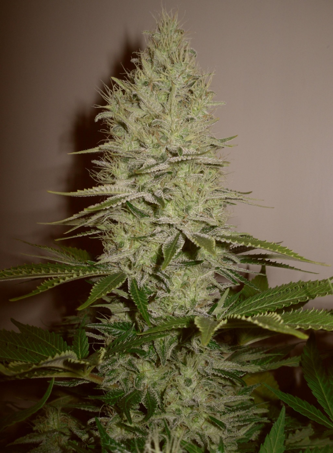 Grown by wift