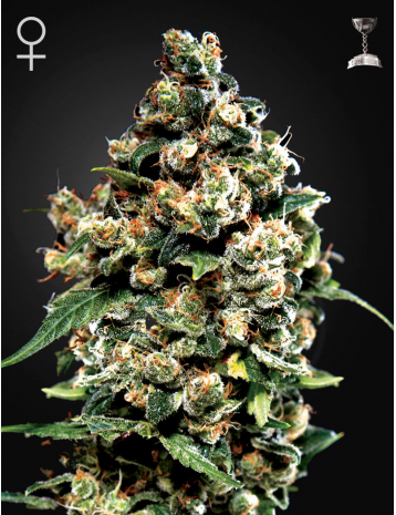 Jack Herer by Green House Seeds