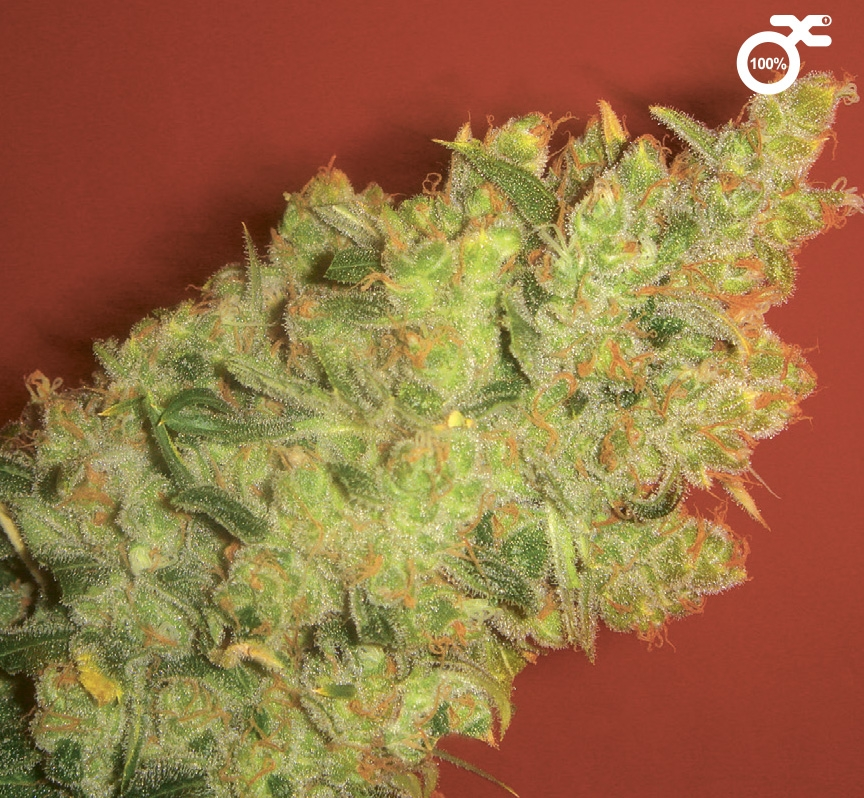 Jack La Motta by Medical Seeds